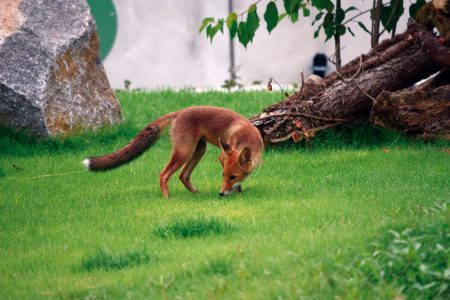 Fuchs im Parc du Petit Prince (© Reinhold Wagner)