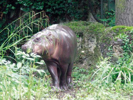 Zwergflußpferd im Basler Zoo (© Reinhold Wagner)
